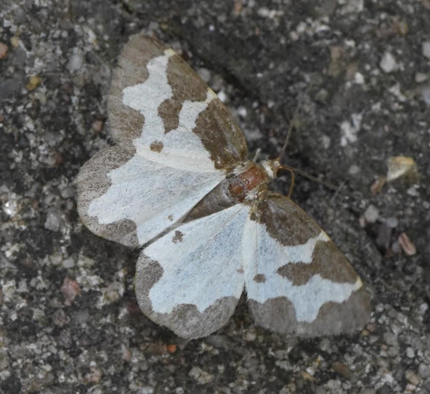 Foto/billede af Sortrandet Måler (Lomaspilis marginata)