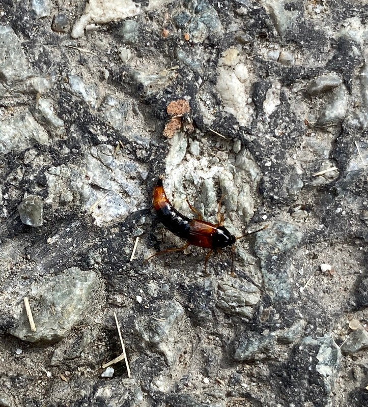 Bolitobius cingulatus