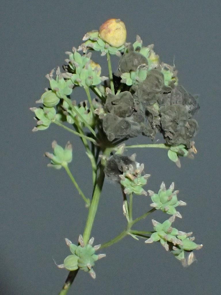 Ametrodiplosis thalictricola