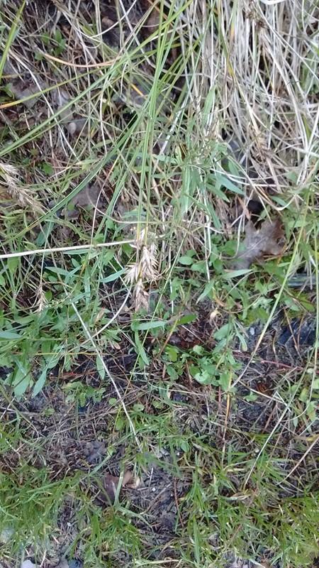 Foto/billede af Sand-Star (Carex arenaria)