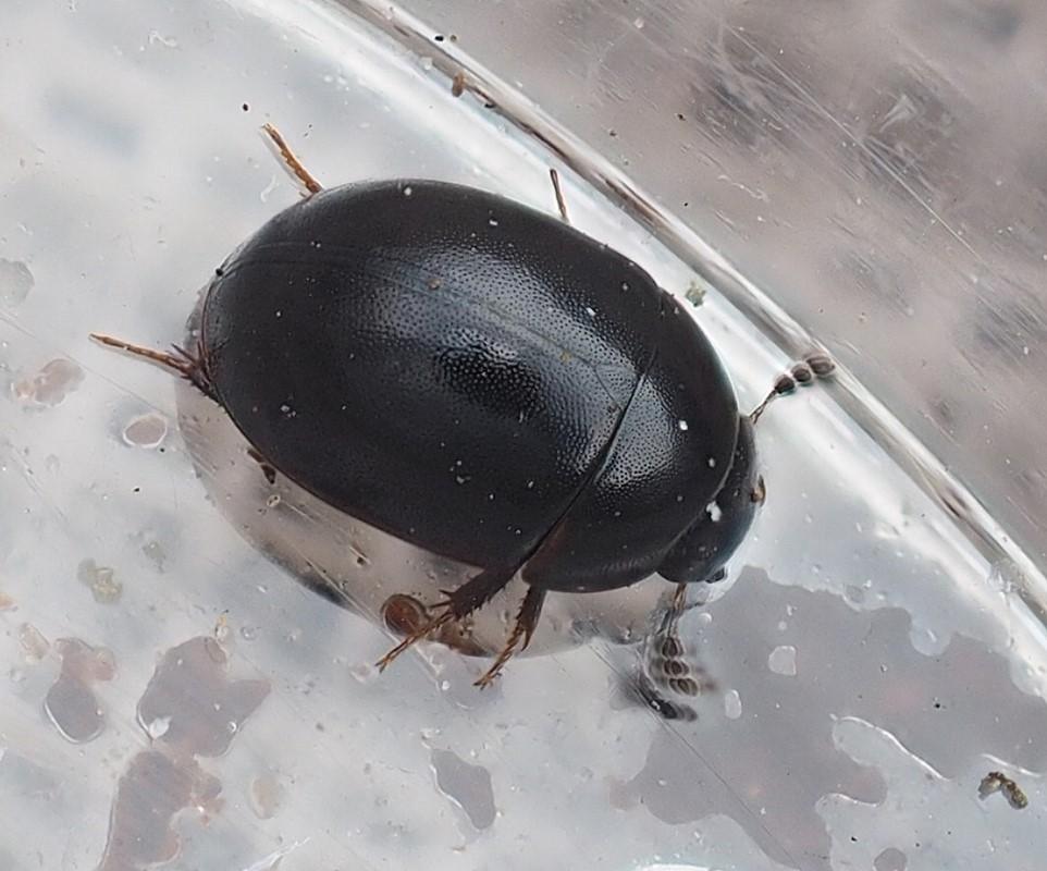 Foto/billede af Coelostoma orbiculare (Coelostoma orbiculare)