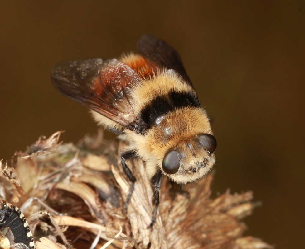 Foto/billede af Rådyrets Svælgbremse (Cephenemyia stimulator)