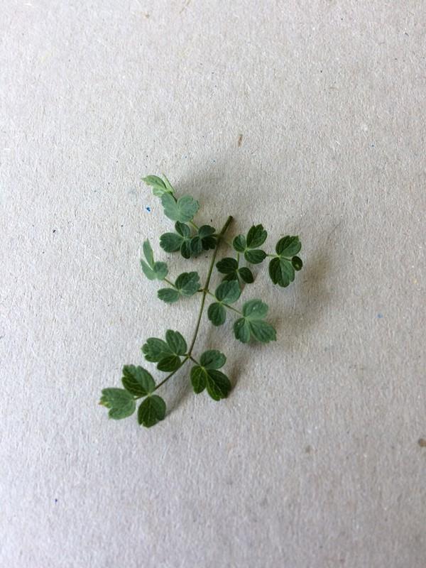 Foto/billede af Sand-Frøstjerne (Thalictrum minus ssp. arenarium)
