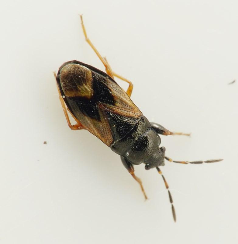 Megalonotus praetextatus (Megalonotus praetextatus)