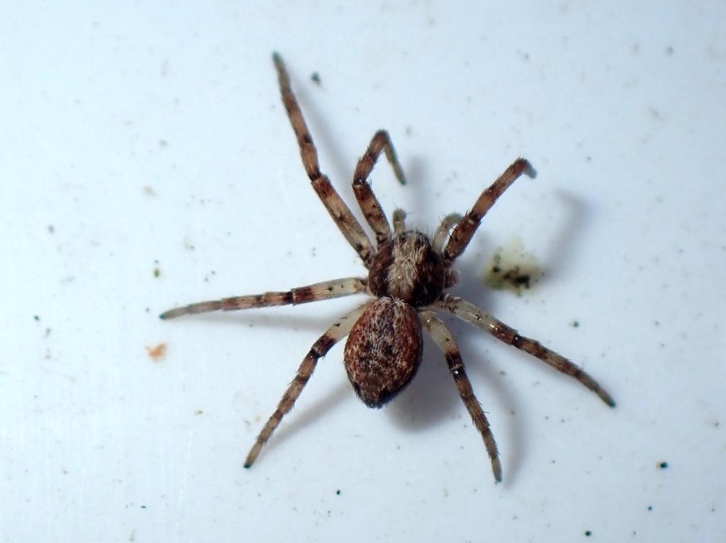 Spindler ubest. (Arachnida indet.)