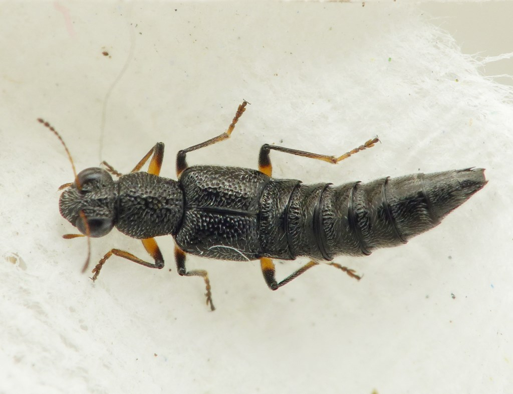 Stenus cicindeloides