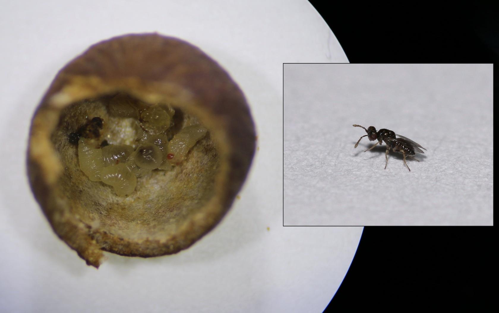Stepanovia eurytomae