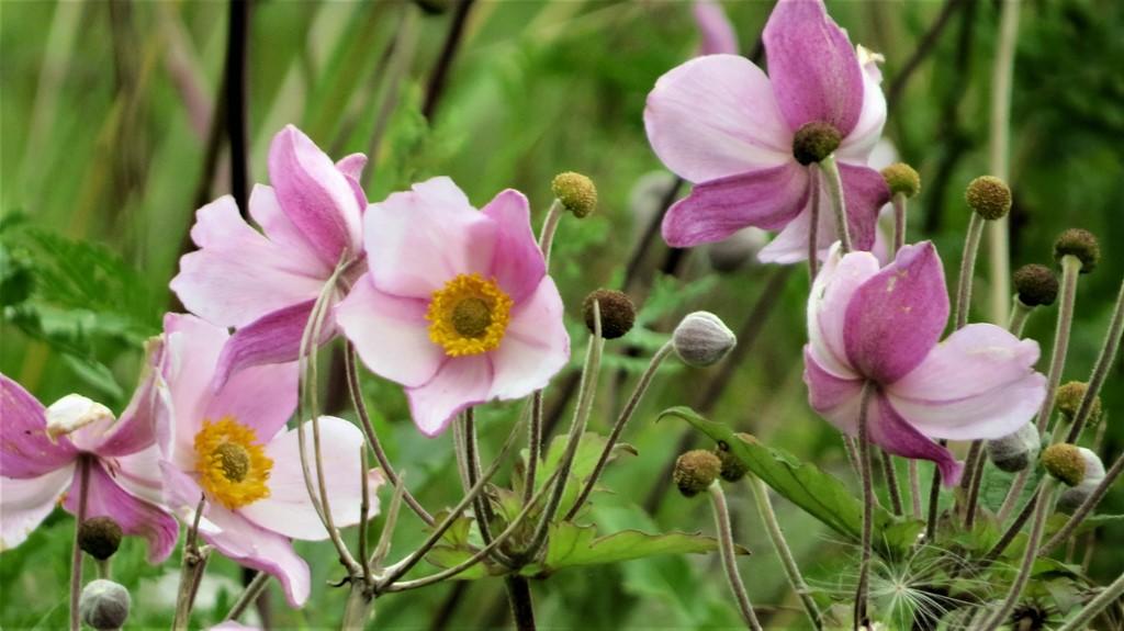 Foto/billede af Høst-Anemone (Anemone hupehensis)