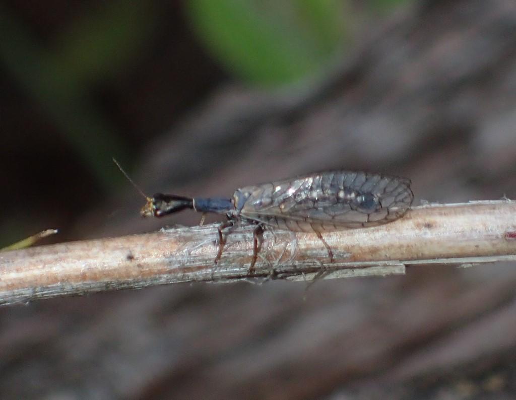 Lille Kamelhalsflue (Xanthostigma xanthostigma)