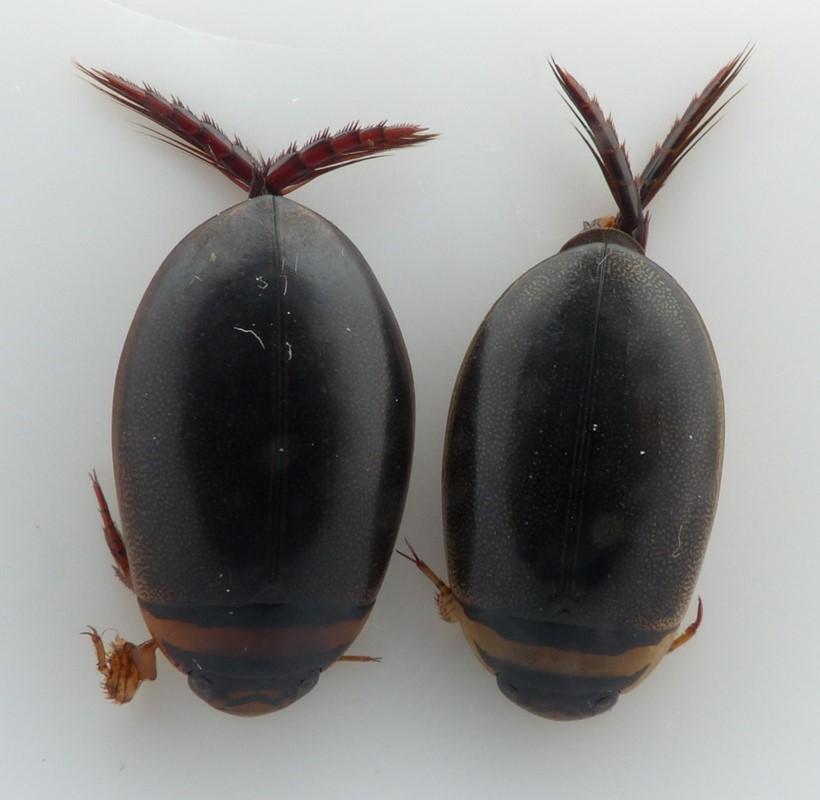 Graphoderus austriacus (Graphoderus austriacus)