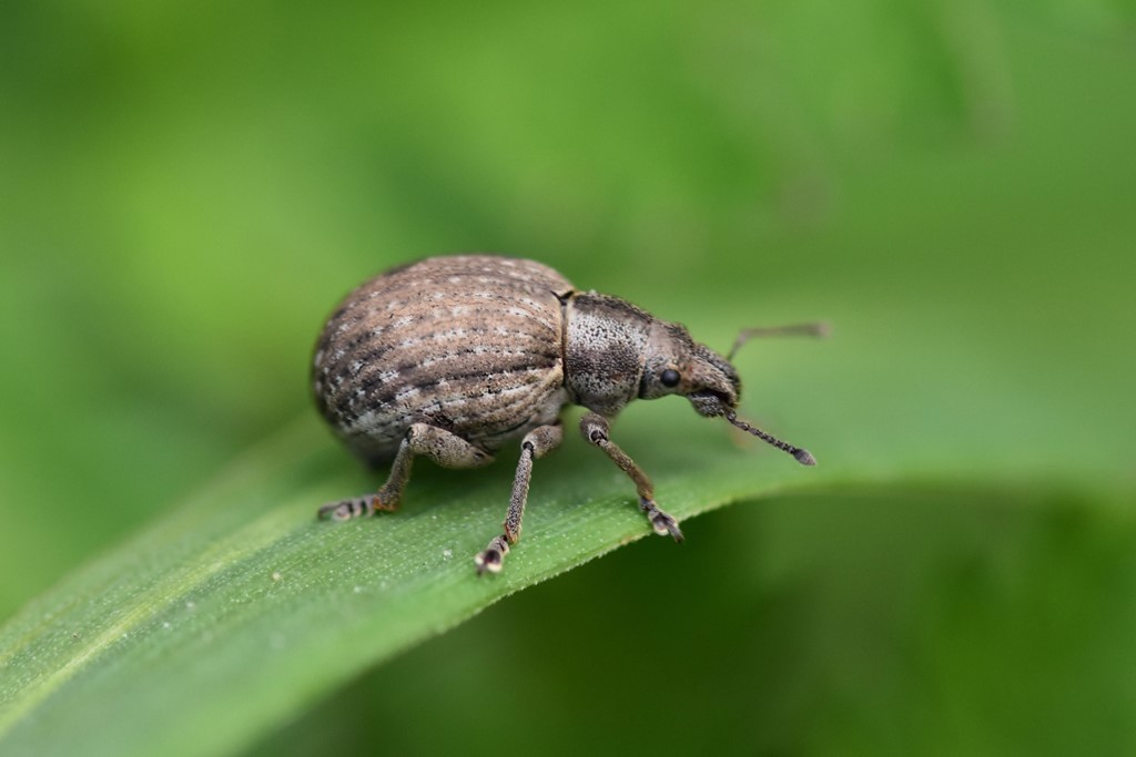 Foto/billede af Attactogenus plumbeus (Attactagenus plumbeus)