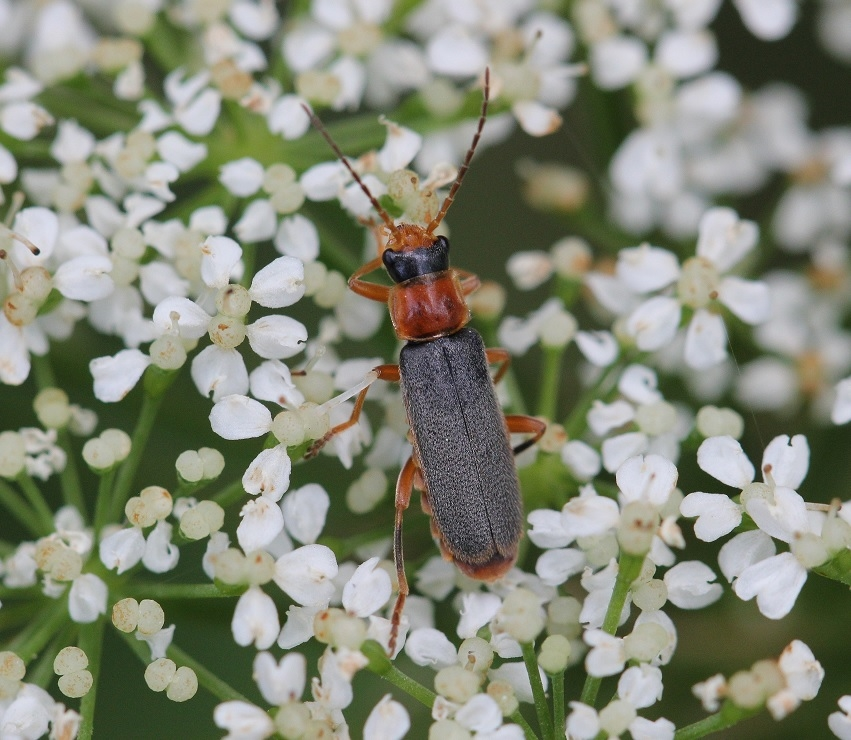 Foto/billede af Cantharis lateralis (Cantharis lateralis)