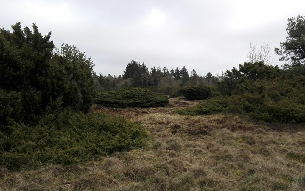 Foto/billede af Almindelig Ene (Juniperus communis ssp. communis)