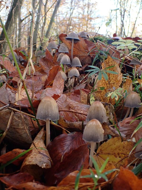 Glimmer-Blækhat (Coprinellus micaceus)
