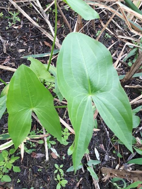 Foto/billede af Bredbladet Pilblad (Sagittaria latifolia)