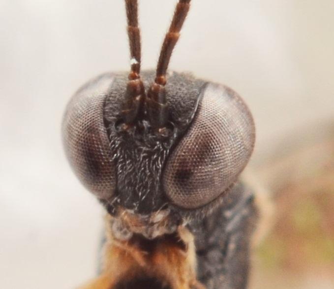 Cymodusa sp.