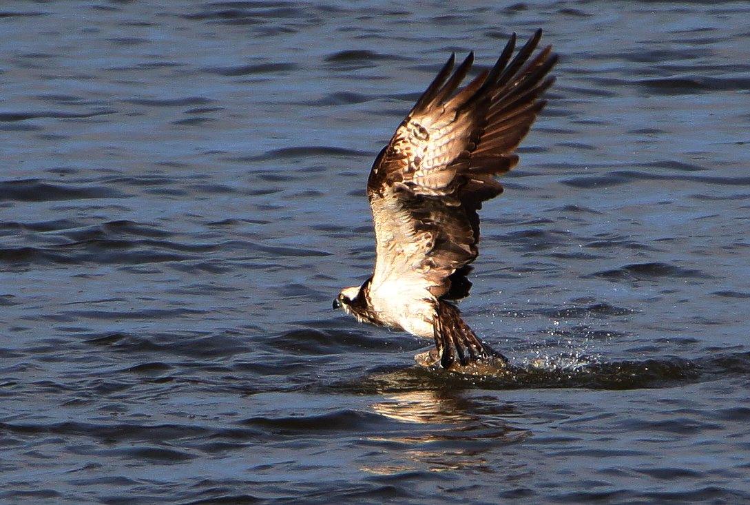 Fiskeørn (Pandion haliaetus)