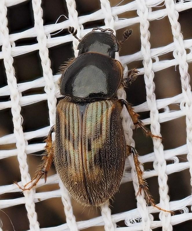 Foto/billede af Sandhåret Møgbille (Aphodius contaminatus)