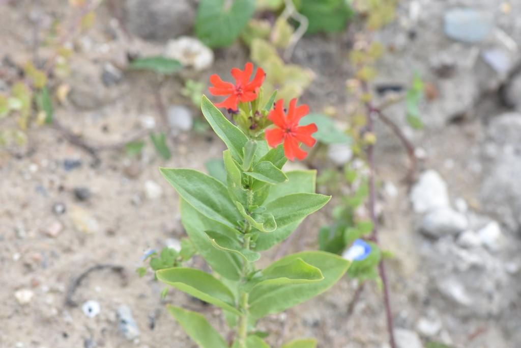 Brændende Kærlighed (Lychnis chalcedonica)