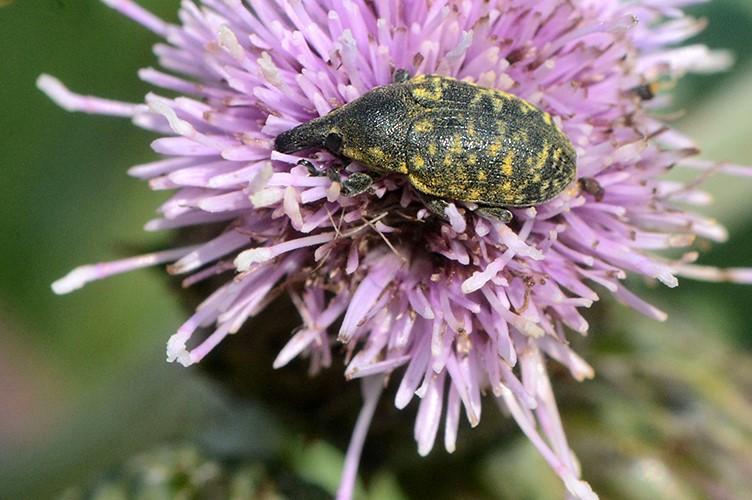 Foto/billede af Larinus turbinatus (Larinus turbinatus)