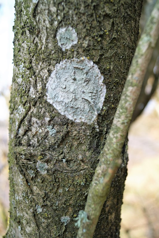 Foto/billede af Almindelig Sølvlav (Phlyctis argena)