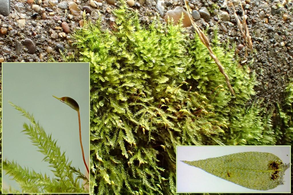 Foto/billede af Skov-Langnæb (Rhynchostegium confertum)