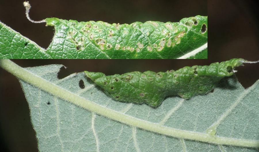 Phyllocolpa leucosticta