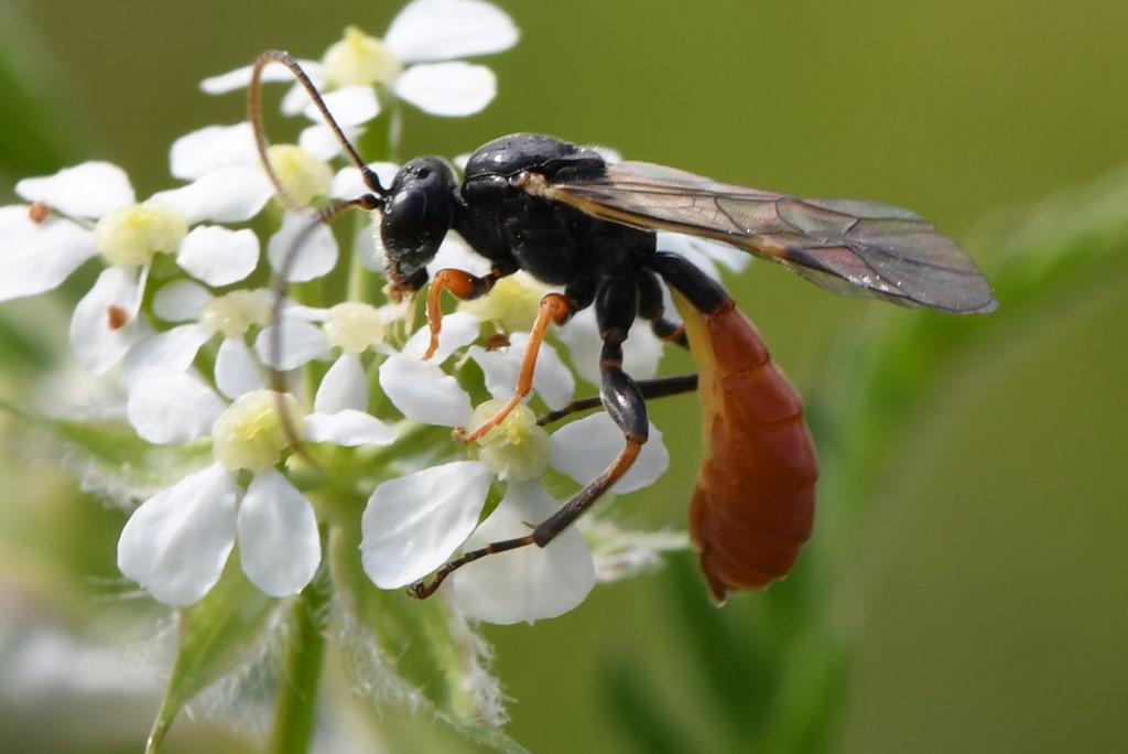 Foto/billede af Tryphoninae ubest. (Tryphoninae indet.)