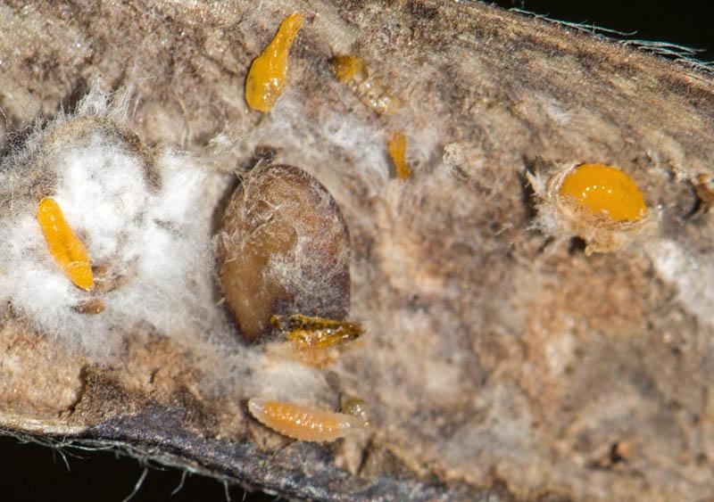 Contarinia pulchripes