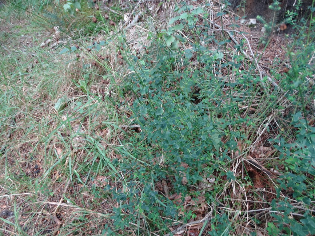 Foto/billede af Smuk Perikon (Hypericum pulchrum)