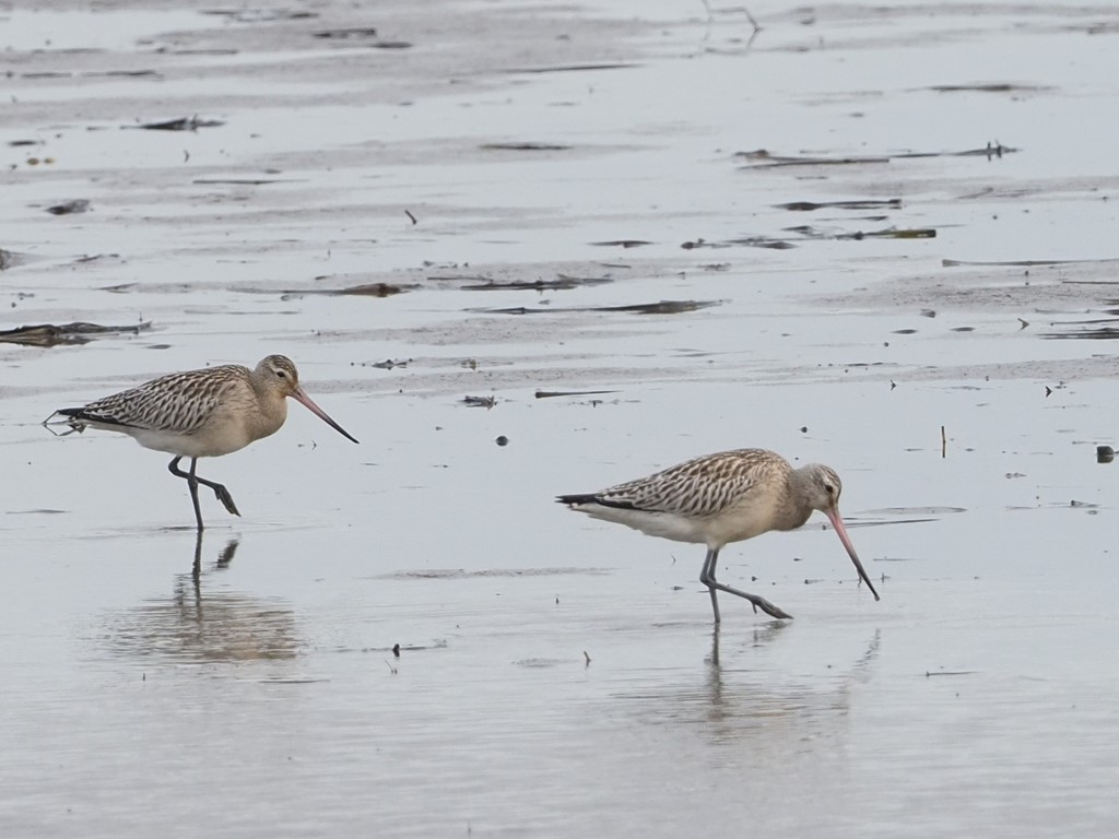 Lille Kobbersneppe (Limosa lapponica)
