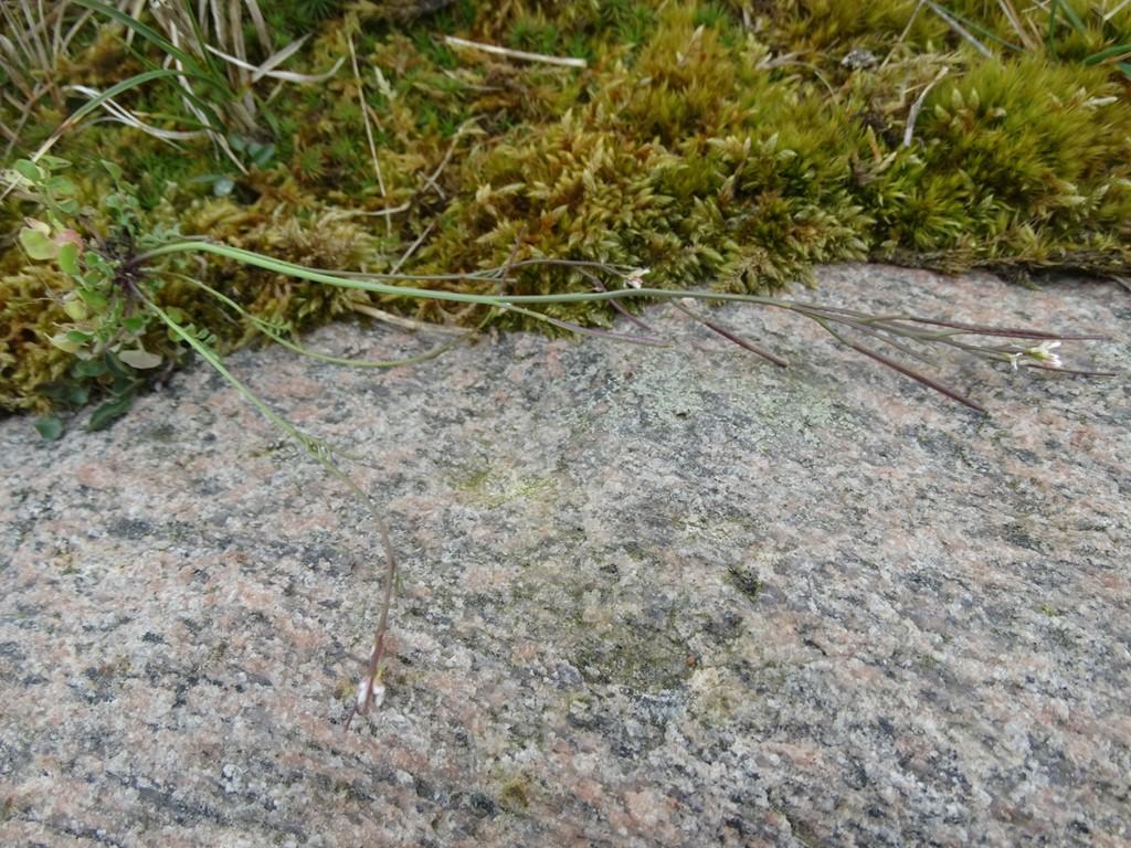 Foto/billede af Roset-Springklap (Cardamine hirsuta)