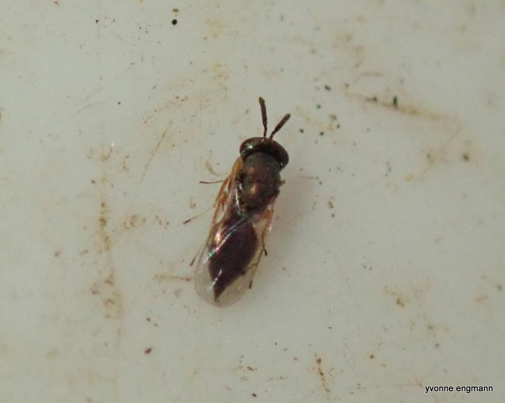 Pteromalidae ubest. (Pteromalidae indet.)