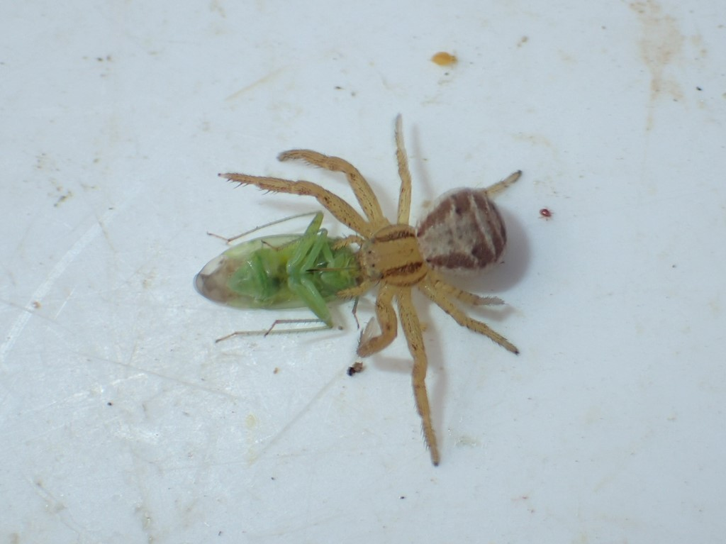 Almindelig Krabbeedderkop