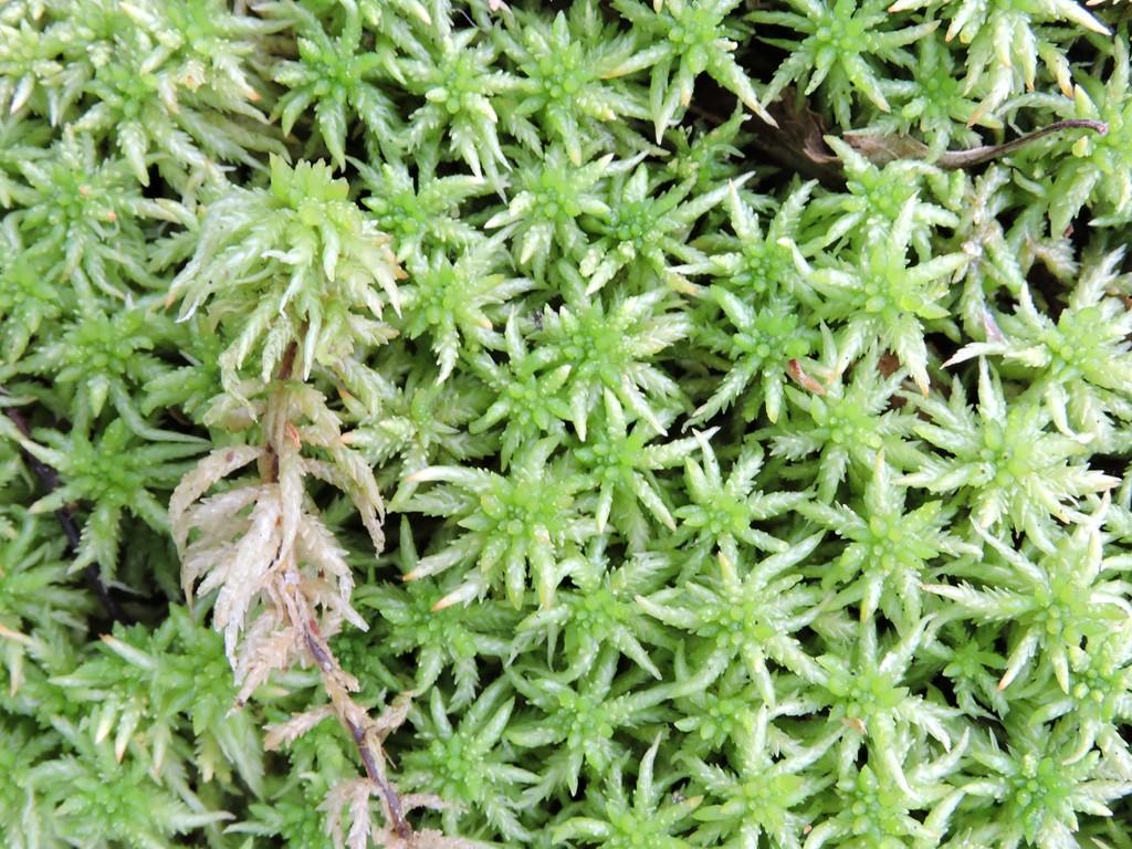 Foto/billede af Stribet Tørvemos (Sphagnum affine)