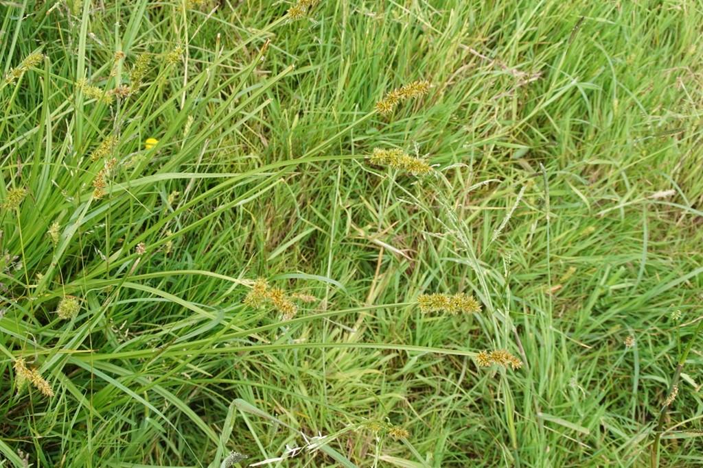 Sylt-Star (Carex otrubae)