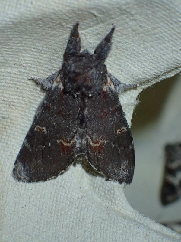 Dromedarspinder (Notodonta dromedarius)