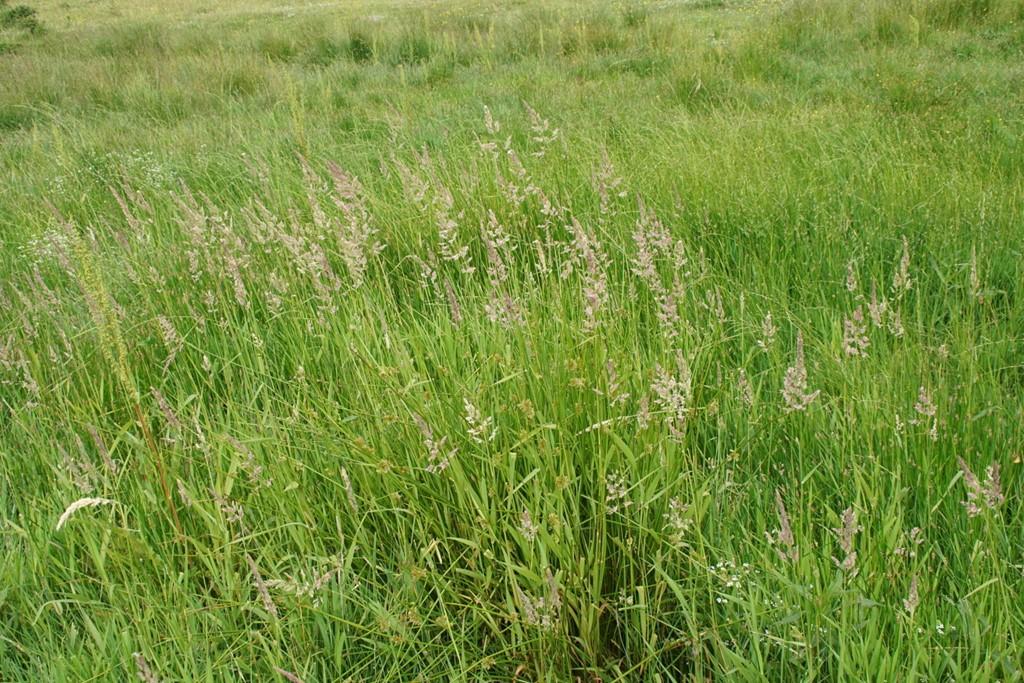 Rørgræs (Phalaris arundinacea)
