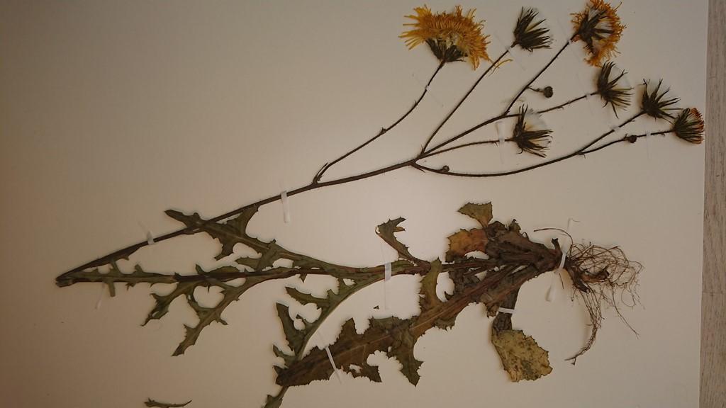 Foto/billede af Ager-Svinemælk (Sonchus arvensis)