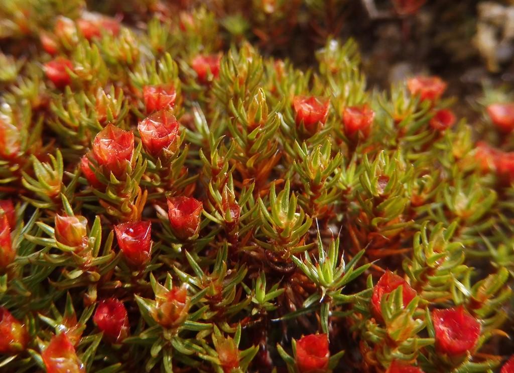 Foto/billede af Ene-Jomfruhår (Polytrichum juniperinum)