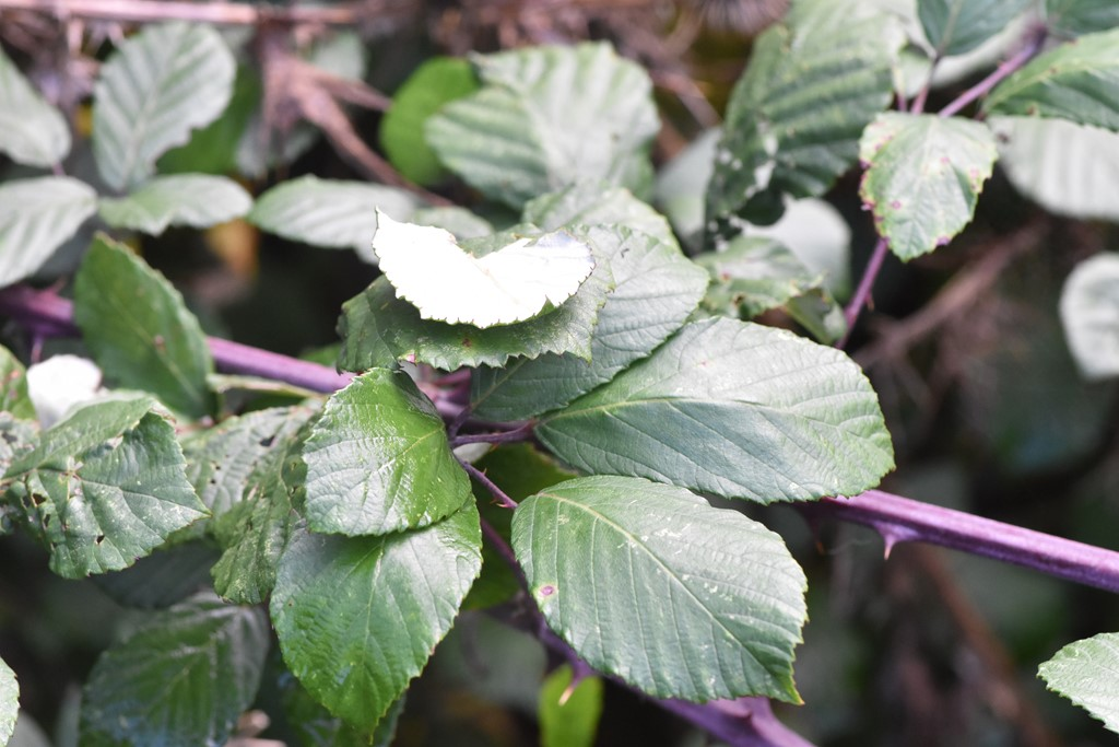 Elmebladet Brombær (Rubus ulmifolius)