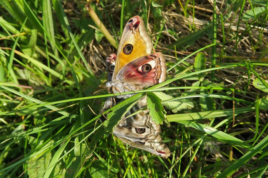 Foto/billede af Lille Natpåfugleøje (Saturnia pavonia)