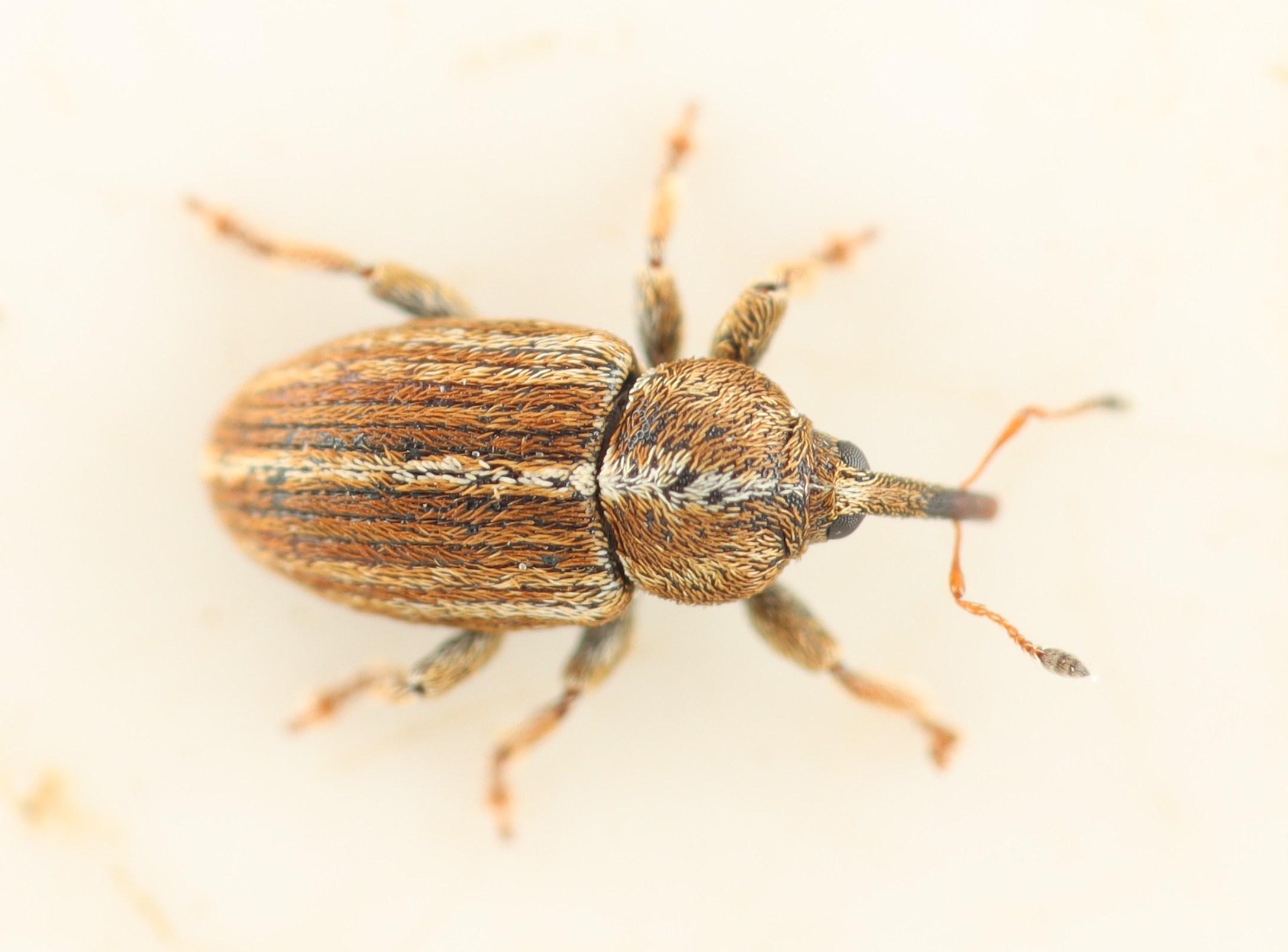 Tychius polylineatus