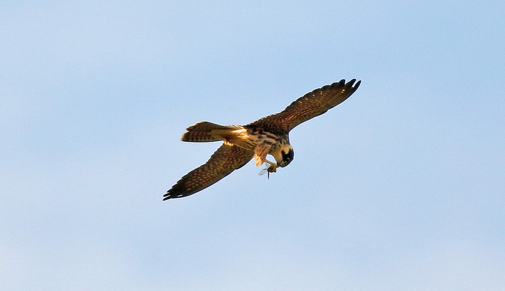 Foto/billede af Lærkefalk (Falco subbuteo)