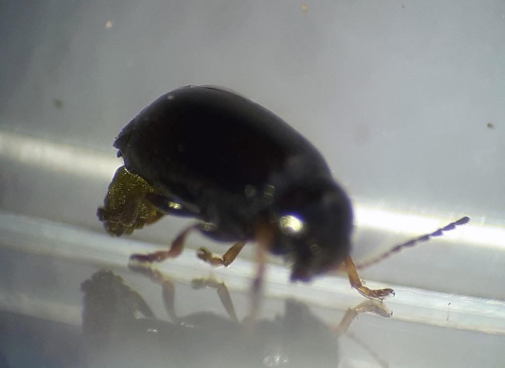Cryptocephalus labiatus