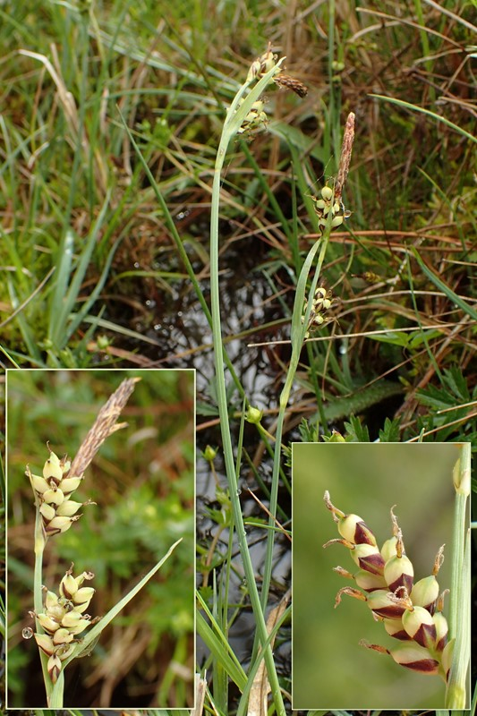 Foto/billede af Hirse-Star (Carex panicea)