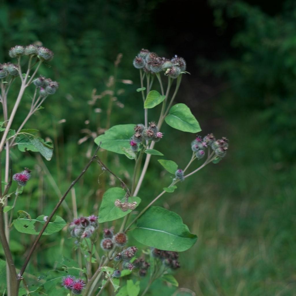 Foto/billede af Filtet Burre (Arctium tomentosum)