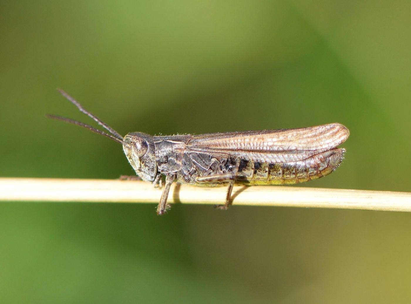 Foto/billede af Sydlig Markgræshoppe (Chorthippus mollis)