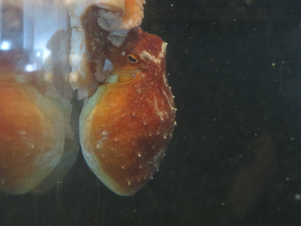 Eledoneblæksprutte (Eledone cirrhosa)