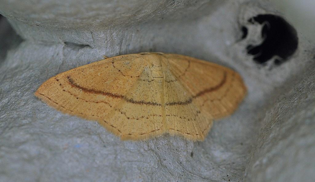 Bøge-Bæltemåler (Cyclophora linearia)